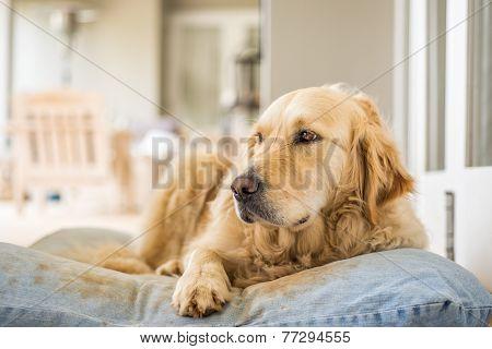 Golden Retriever Resting