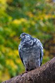 Pigeon on tree branch with leaves. Bird. poster