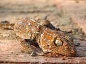 A gecko either sunbathing or dead in Ayutthaya Historical Park in Thailand. poster