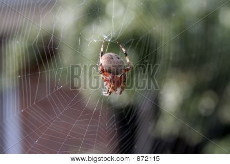 Orb Weaver Dorsal