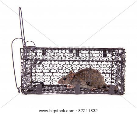 rat trap in front of white background poster