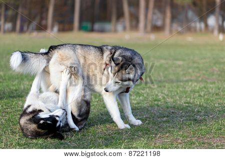 Two Husky frolic on the lawn.