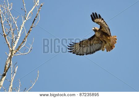 Red-tailed Hawk Flying Among The Trees