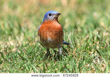 Eastern Bluebird On A Lawn
