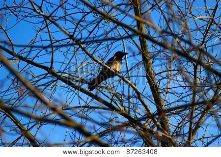 Hooded Crow On The Branch Of The Tree