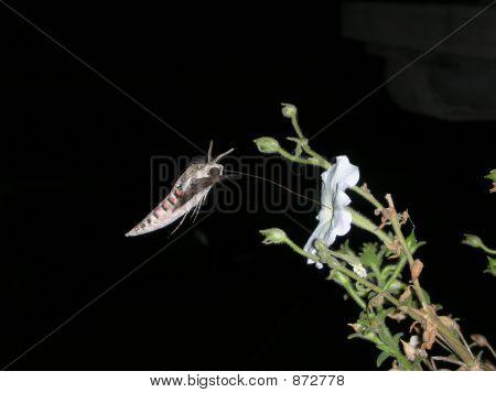 A Hummingbirdlike Butterfly