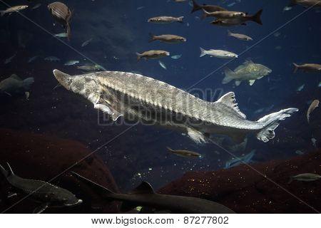 Big Atlantic Sturgeon Floats In Deep Blue Salt Water