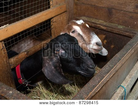 Two Nubian Black And Brown Goat In Barn