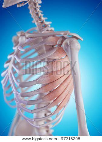 medically accurate illustration of the serratus anterior