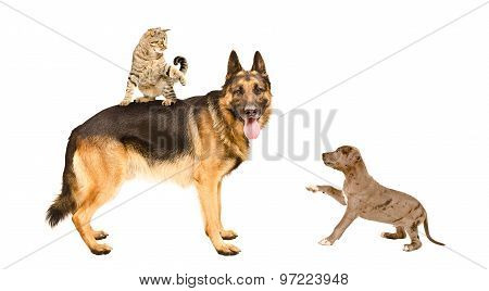 Cat, German shepherd and pit bull puppy playing together