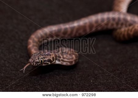 Tongue Flicking Python
