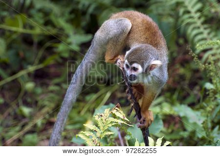 Squirrel monkey - Saimiri sciureus in ZOO
