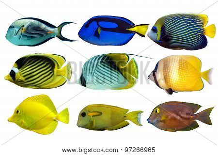 Reef fish isolated on white background.