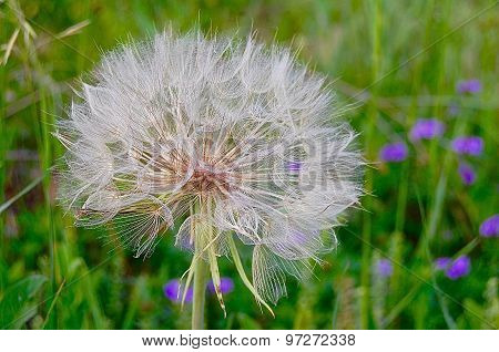 Giant Dandelion