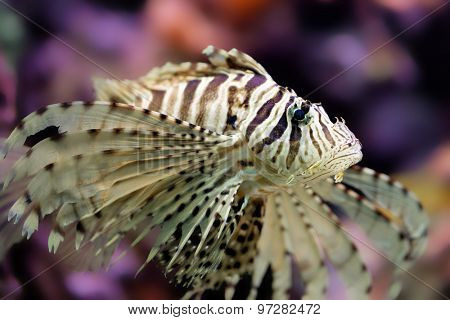 Beautiful red lionfish Pterois volitans in his coral reef.