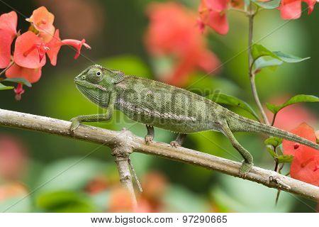 Flap-necked Chameleon (chameleo Dilepis) Crawling In A Garden