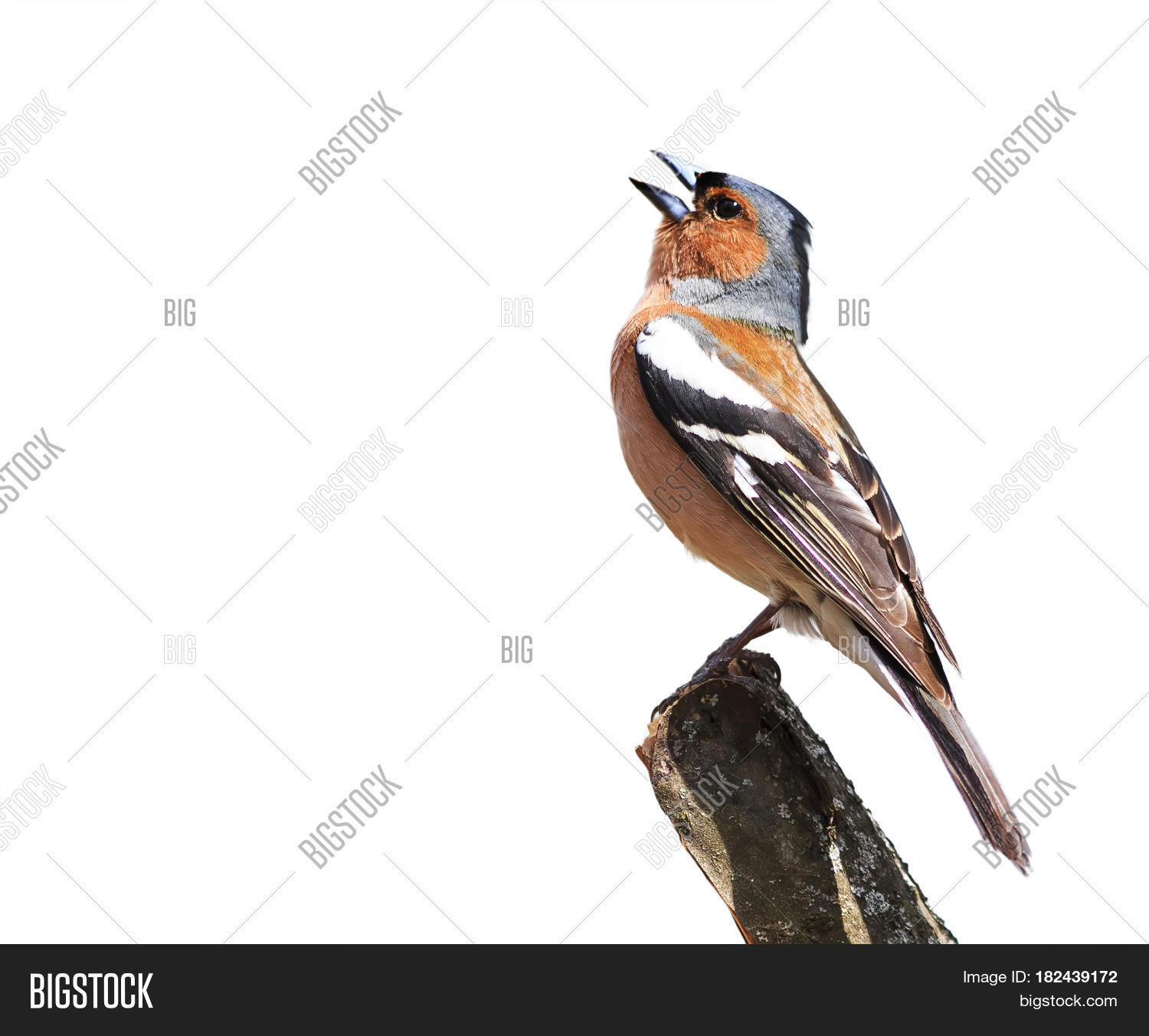 Perfect Spring Bird Chaffinch Sings The Song Standing On A Branch