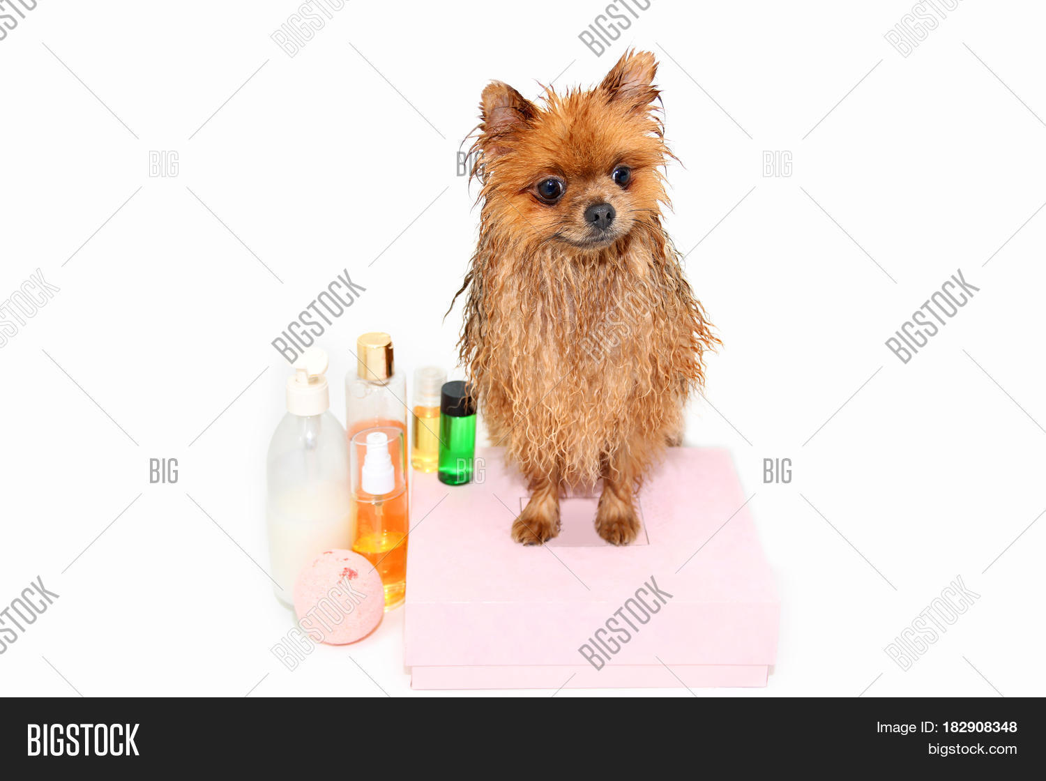 A Pomeranian Dog Taking A Shower With Soap And Water. Dog On White  Background.
