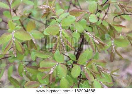Lonicera, honeysuckle, green foliage after rain, dew drops on the leaves, macro photography