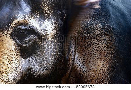 Close-up view on Indian Elephant. Horizontal photo