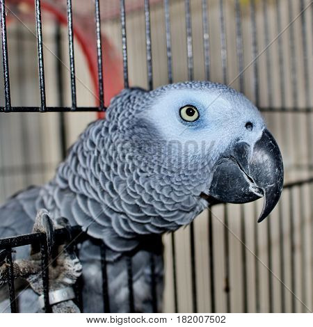 Animals. African grey parrot in metal cage.
