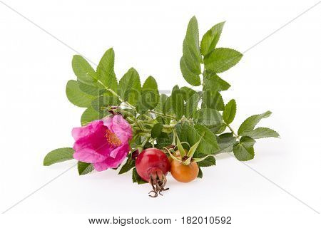 Branch of Rose hip with flower and berries on a white background.