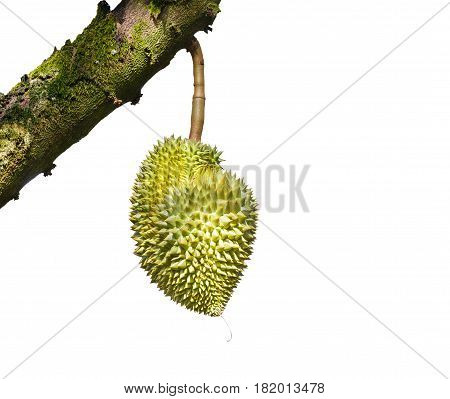 Isolated Mon Thong Or Golden Pillow Durian, King Of Tropical Fruit, On Its Tree Branch