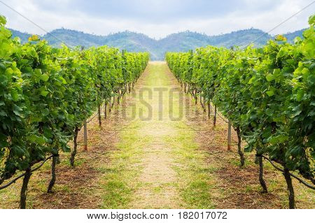 Vineyard Pathway And Mountain Background Landscape On Hill