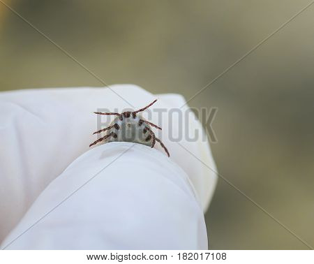 dangerous insect mite pressurized blood in the hands in gloves rubber