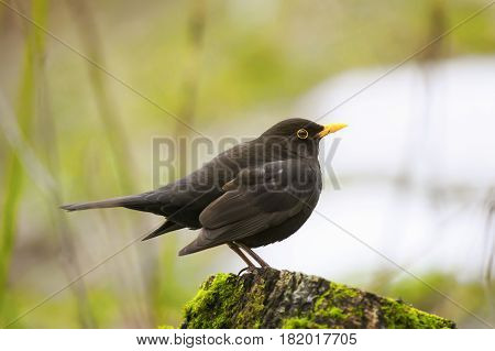 Blackbird stands on a green wooden stump in spring Park