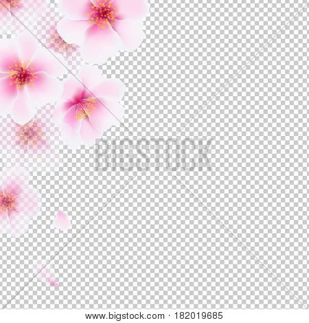 Cherry Flowers Isolated