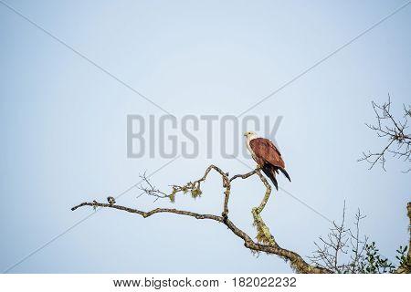 Brahminy Kite or Haliastur indus sitting on branch of tree in Sri Lanka