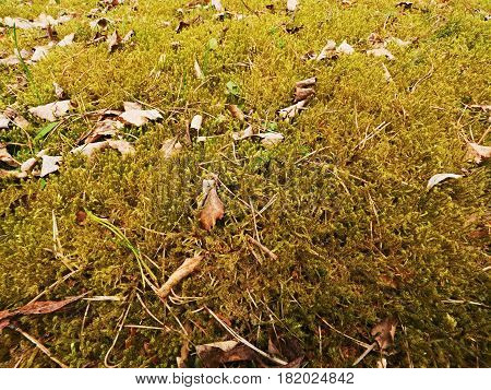 Old Yellow Leaves Fallen On Dry Moss.dry Small Plants Of Moss, Dry Pine Needles And Dry Oak Leaves.