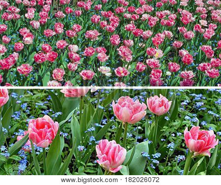 Flowers, Red Pink White Tulips and Green Leaves on a Flower Bed