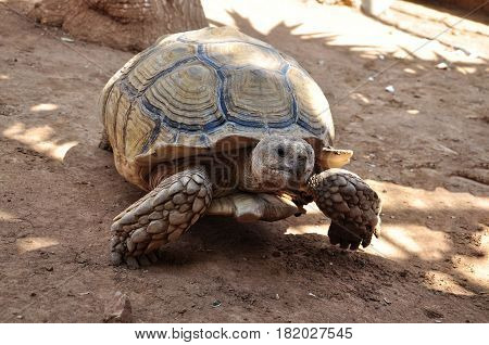 Big old turtle walking slowly on a sand.