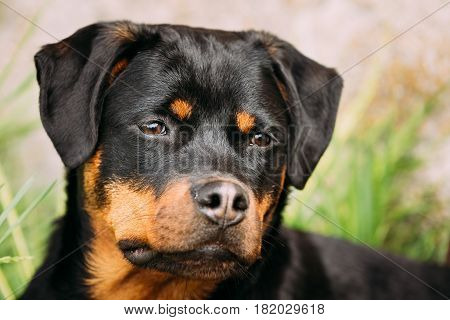 Funny Young Black Rottweiler Metzgerhund Puppy Dog Play In Green Grass In Summer Park Outdoor.