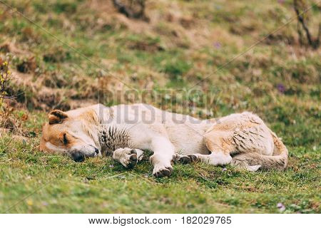 Central Asian Shepherd Dog Sleeping Outdoor In Mountains Of Caucasus. Alabai - An Ancient Breed From The Regions Of Central Asia. Used As Shepherds, As Well As To Protect And For Guard Duty