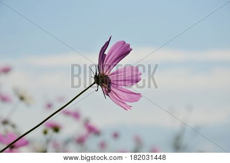 cosmos flower blooming and wind blow in park