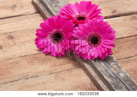 the pink gerber on old wooden background