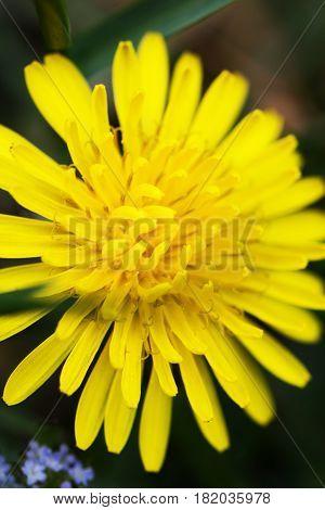 Stamens of yellow dandelion. Close up. Dark background. Dandelion flower.
