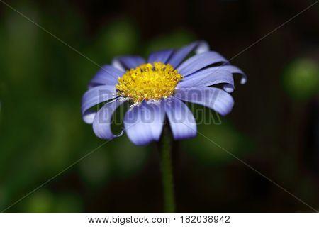 Blue daisy flower , Felicia daisy (Felicia amelloides)