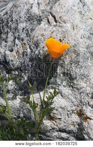 a California poppy grows by a boulder
