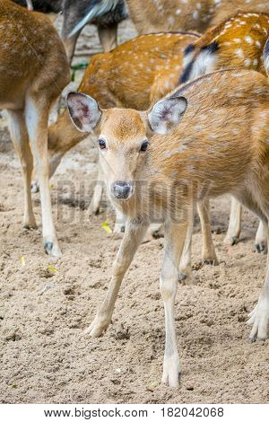 Herd of Sika deers, young female with large eye, Vietnam, island, Nha Trang