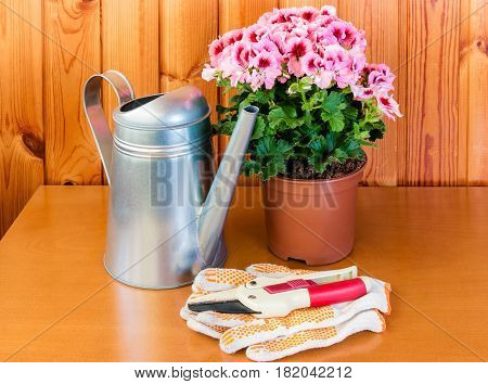 Pelargonia flower in pot and watering can on wooden background