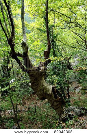 Old hollow leafless twisted tree in forest.