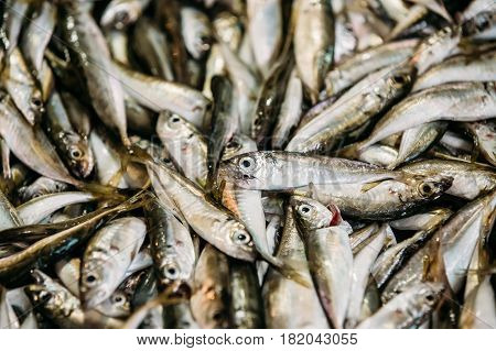 Fresh European Anchovy Fish On Display On Ice On Fishermen Market Store Shop. Seafood Fish Background. European Anchovy Is A Forage Fish Somewhat Related To The Herring. Anchovies Are Placed In The Family Engraulidae