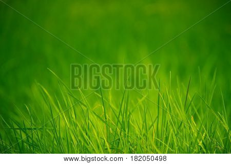 Lush Green Grass With Blurred Defocused Background And Copy Space