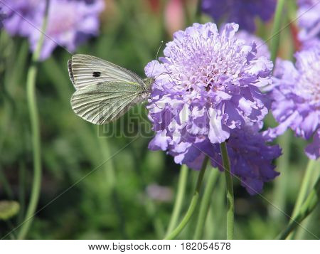 A BUTTERFLY SITTING ON A MAUVE FLOWER 12cdw