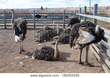 A family of ostriches on a farm in the village, Australia