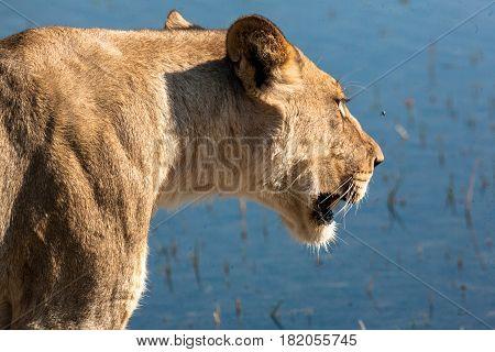 Lioness in Chobe national park Botswana, Africa
